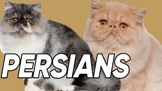 6 Spectacular Facts About Persian Cats