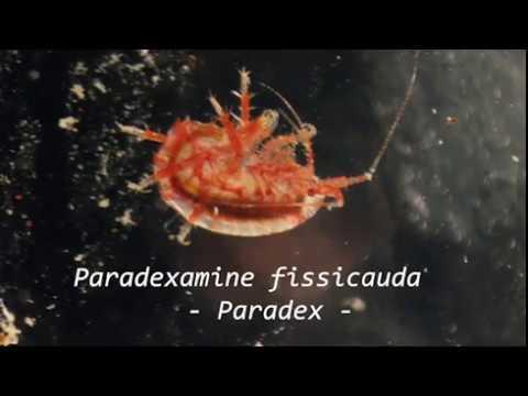 The awesome amphipod, Paradexamine fissicauda