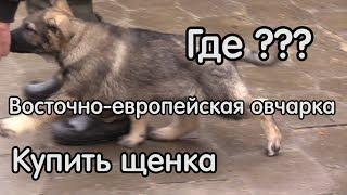 ВОСТОЧНОЕВРОПЕЙСКАЯ ОВЧАРКА (ВЕО) – собака для охраны, как выбрать щенка?