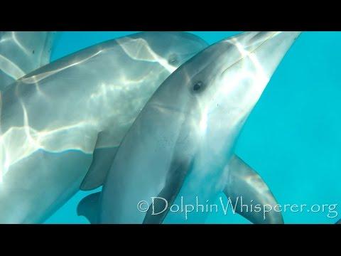 In a pod of rowdy dolphins; 30 seconds of mayhem, Bimini, Bahamas