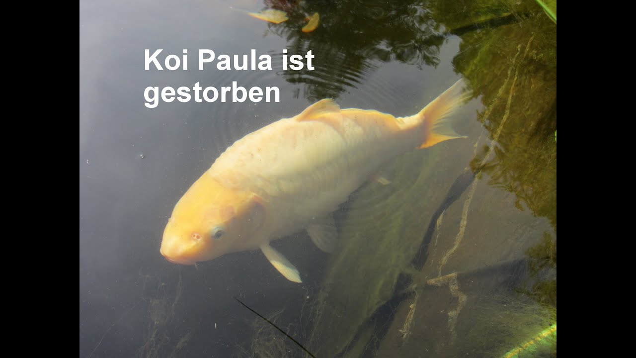 Koi paula died youtube for Koi youtube