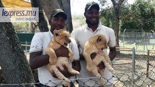 Les lionceaux mauriciens feront bientôt leur entrée en scène