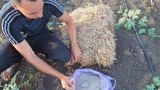 Выращивание арбузов / Когда подкармливать арбузы / Как формировать куст