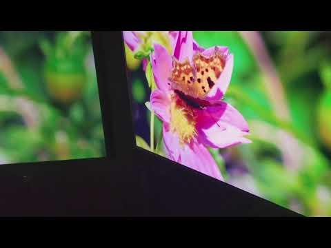 Projector screen vs tv challenge. Optoma GT1080Darbee with Ghost gray screen vs 4k tv