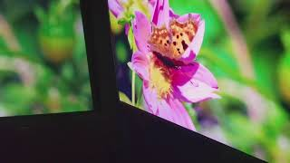Projector screen vs tv challenge. Optoma GT1080Darbee with Ghost gray screen vs 4k tv