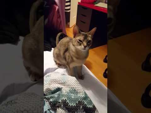Abyssinian cat cute reaction