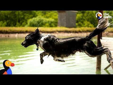 Dog Sprints and Jumps Into Water Every Chance He Gets | The Dodo