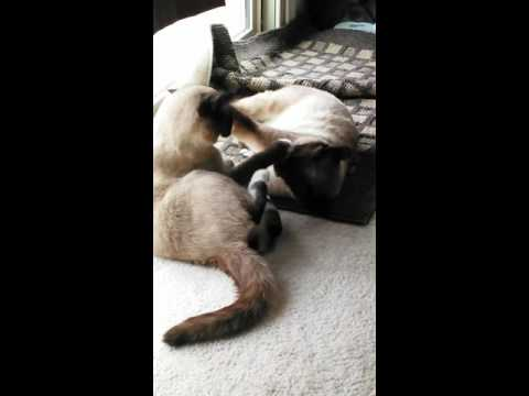 HILARIOUS MMA CAT FIGHT THEN MOCKED! :-)