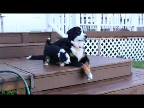 Bernese Mountain Dog Puppy Playtime