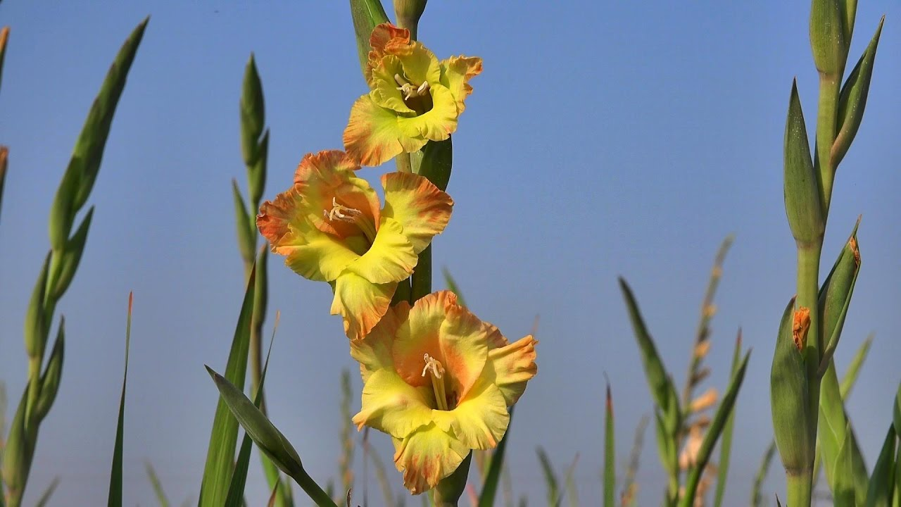 Gladiolus Flower Garden In Jessore Bangladesh In 4k Youtube