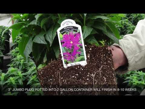 6  Lupin Gallery Dwarf White Perennial  Alpine  Plug plants