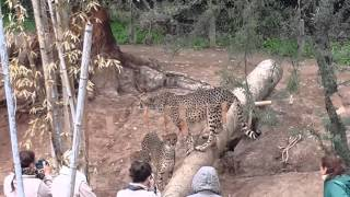 Instructors teach cheetahs how to play