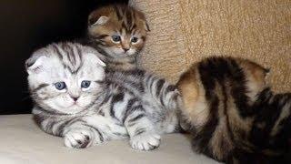 Gang of Scottish Fold Kittens