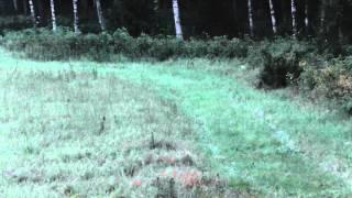 Rævejagt i Sverige  15. august aften/ Fox control in Sweden / Chasse au renard