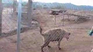 Hyenas Laughing