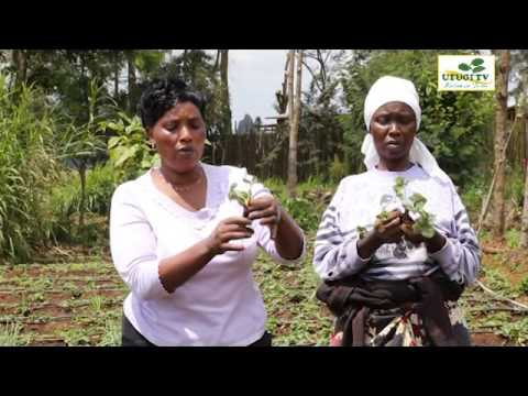 Utugi TV - Strawberry Farming 2016