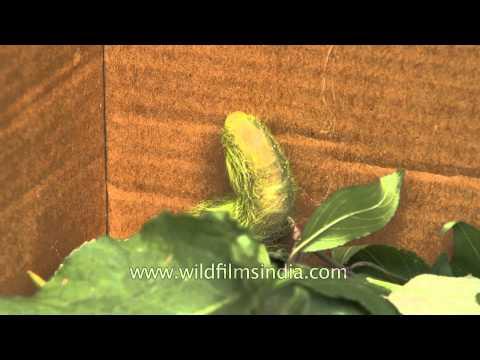 The Indian Moon Moth Caterpillar