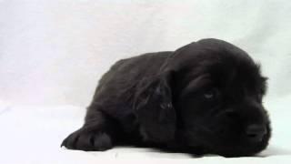 かわいいミニチュアダックスフンドの子犬が誕生しました! ブリーダー直...