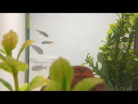 NEON TETRA FISH DISEASES [NEON TETRA FISH SERIES EPISODE-02]