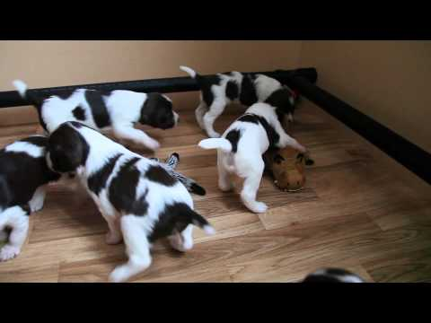 Springer Spaniel Puppies At Play