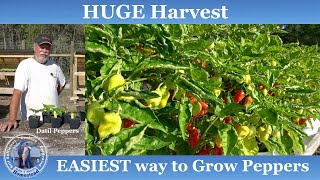 EASIEST Way to Gŗow Peppers l HUGE Harvest