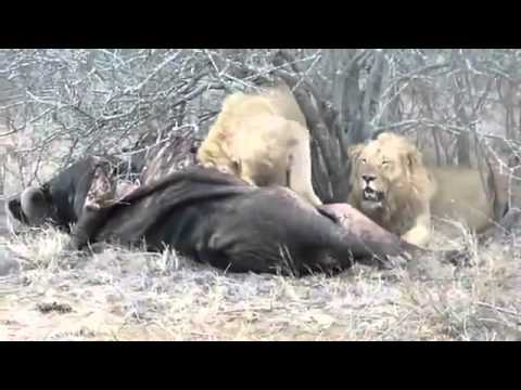 The most powerful scenes of predation - Lion vs Buffalo
