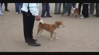 柴犬物語--平成21年 日本犬保存會106回 内閣総理大臣賞 伊達の将錦号 thumbnail