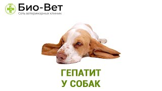 Гепатит у собак. Ветеринарная клиника Био-Вет.