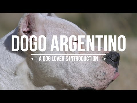 DOGO ARGENTINO A DOG LOVER'S INTRODUCTION