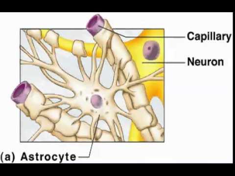 Astrocytes 1