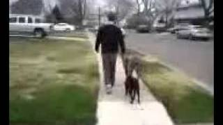 Mastiff Walks Pitbull Puppy