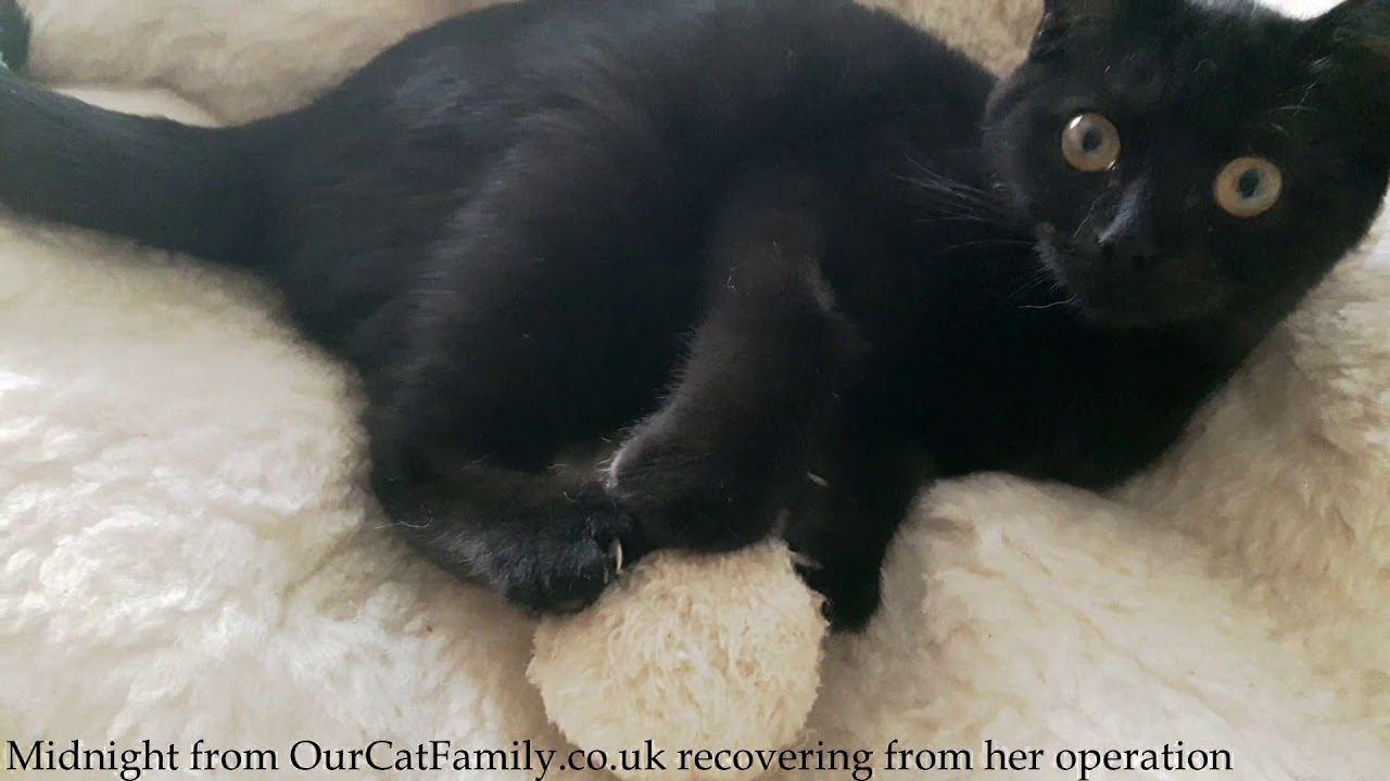 British Shorthair Black Cat Midnight Recovering After Her Neutering Operation Youtube