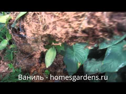 Ваниль - растение семейства орхидных