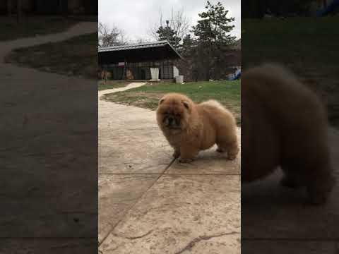 Amazing cute chow chow puppy
