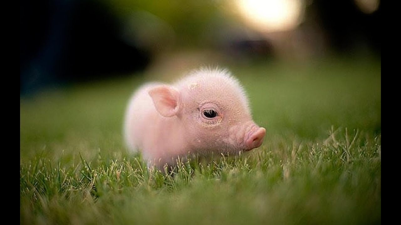 Two little cute baby piglets - YouTube