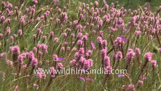 Himalayan Fragrant Orchid (Gymnadenia orchidis) in Valley of Flowers