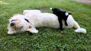 Newborn Goat Tries To Cross Over Dog