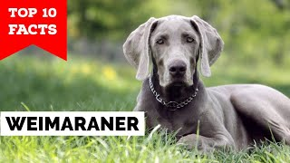 Weimaraner  Top 10 Facts
