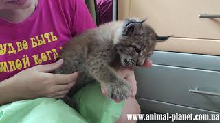 Ручной, домашний котенок рыси в продаже!!!
