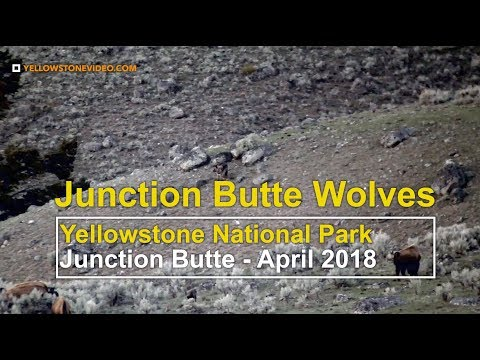 Junction Butte Wolf Pack Hunts Elk in Yellowstone National Park