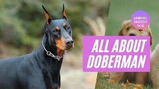 All about Doberman Pinscher you need to know/ Doberman Pinscher dog breed