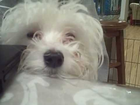 Funny Maltese Puppy Snowball - YouTube