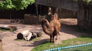 Bactrian Camel Born at Lincoln Park Zoo