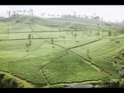 Wonderful PART 2 Malabar Tea Plantation, Like a Giant ...