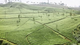 [Wonderful PART 2] Malabar Tea Plantation, Like a Giant Green Carpet