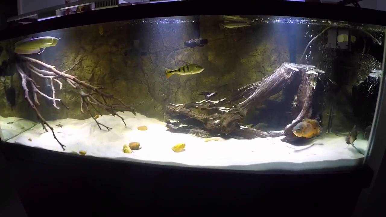 Amazon fish tank south american cichlids youtube for Amazon fish tanks