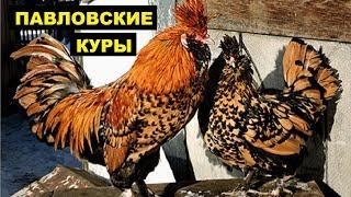 Разведение Павловской породы кур как бизнес идея | Павловские куры