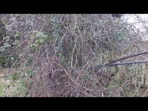 How To Rescue And Prune A Neglected And Untamed Grapevine Part 1