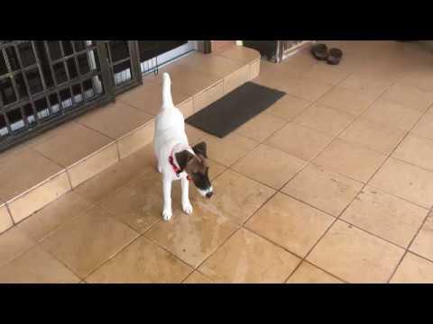 Ezio's Vlog. ( Smooth fox terrier )