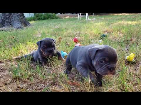 Are You Feeling Blue?  Well Check Out These Blue Tri Bulldog Babies!